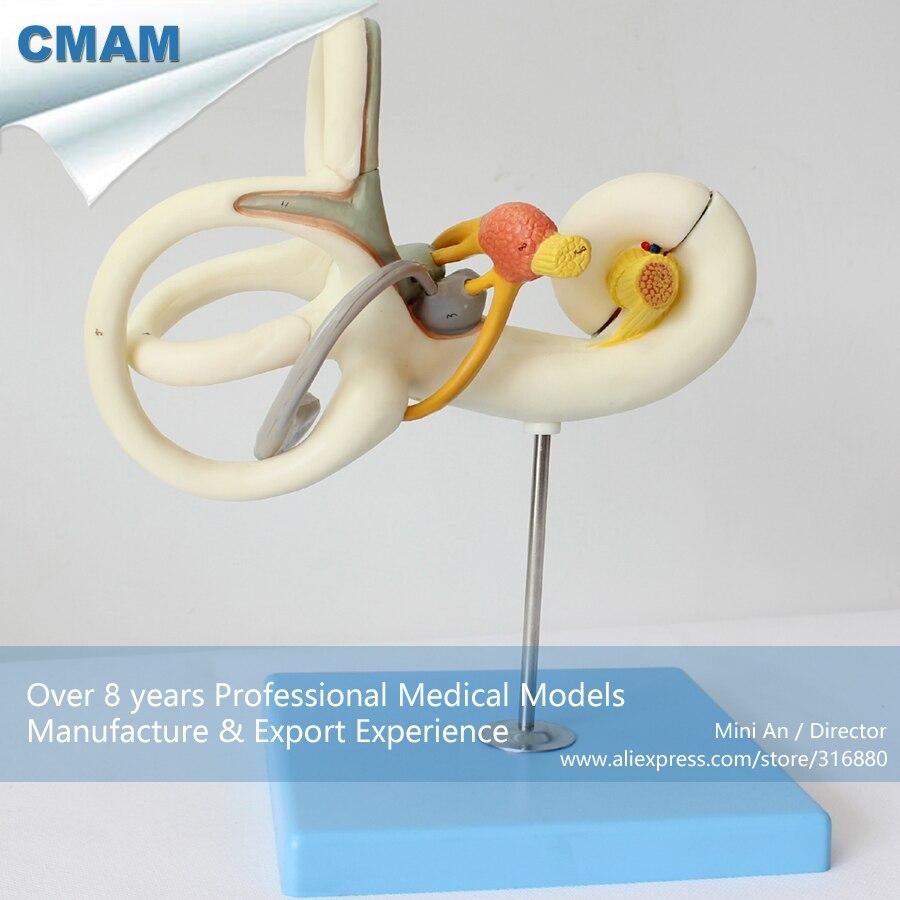 12517 CMAM EAR02 18x Life size Inner Ear Labyrinth Model, Ear ...