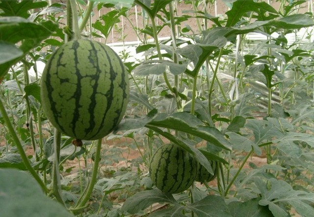 Mix order $5 5 Pack 40 seed fruit  Watermelon lovely Deliciou free shipping with gift