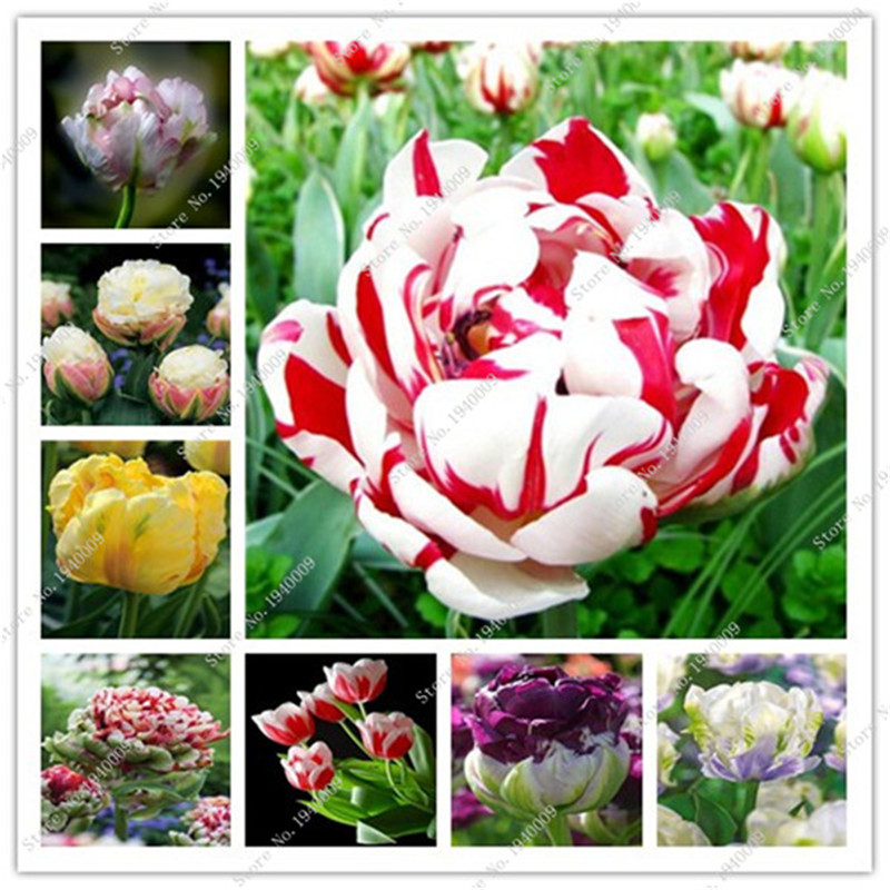 10 pcs tulips seeds Bonsai Exotic Multicolor Perennial Flower plants Garden love