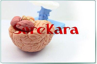 1:1 Human Anatomical Brain Professional New Medical Teaching Model School Hospital Hi-Q