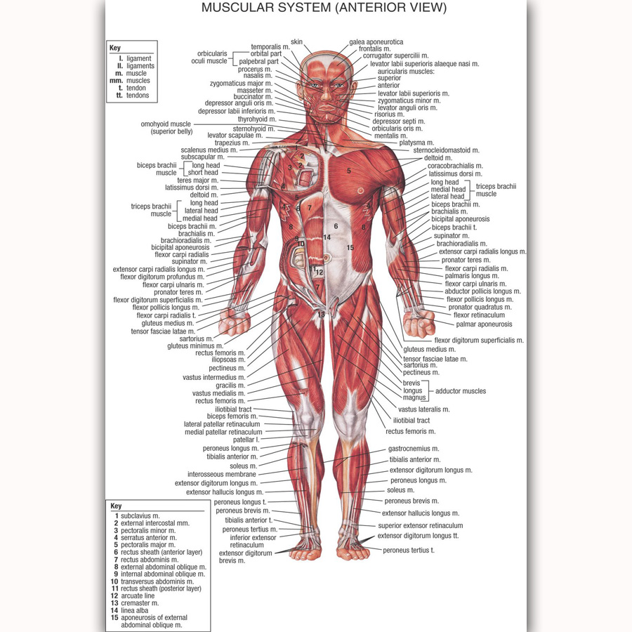 Mq532 Human Anatomy Body Map Chart Health Inside Hot New Art Poster
