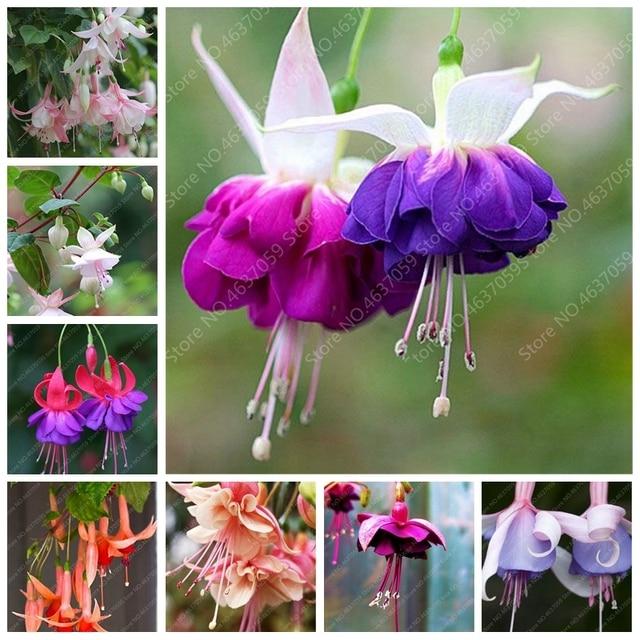 Бесплатная доставка 100 шт./пакет экзотическая фуксия бонсай цветок крытый и открытый балкон сад в горшке цветы растения DIY посадочный горшок