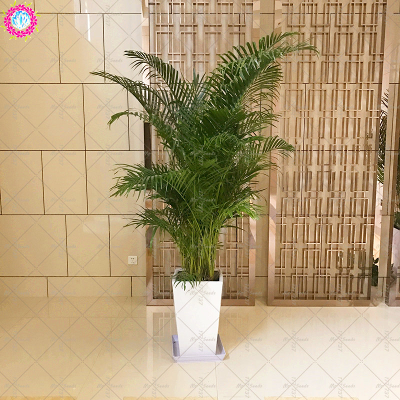 40PCS Bonsai Bamboo Seeds Living Room Indoor Potted Plants Perennial Garden Ornamental Tree Seeds Radiation Absorption