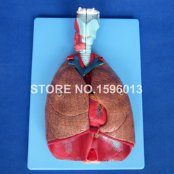 Advanced Larynx, Heart, Trachea and Lung Anatomical Model