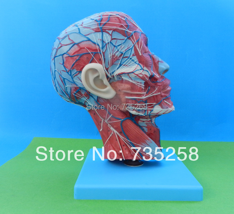 Half Head with Vessels,The head model of the sagittal section ,Median Section of the Head median section of head model anatomical head model