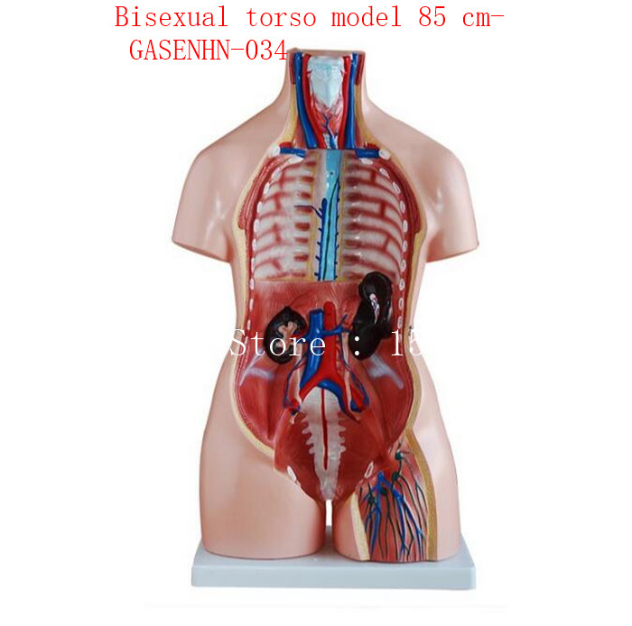 Aliexpress Buy Visceral Anatomy Male Female Asexual Trunk