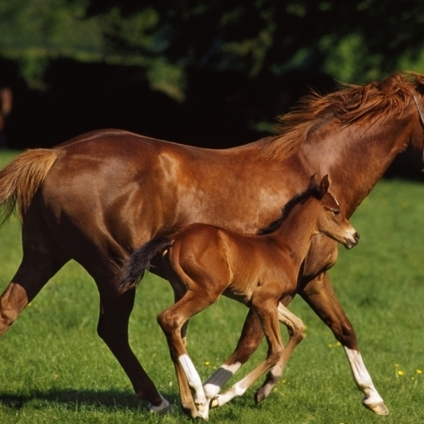 Thoroughbred Chestnut Mare & Foal  Ireland Poster Print (18 x 11)