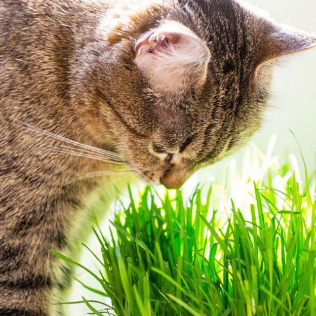 2018 Nuovi Gatti Catnip Giocattoli del Gatto Dell'animale Domestico Erba Gatta G