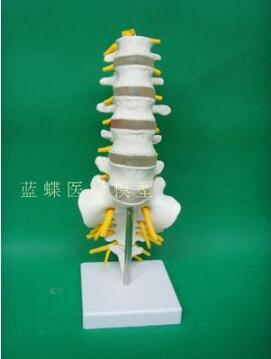 Human  Lumbar Spine Model Including Caudal Vertebra Human Lumbar Vertebra Structure Lumbar Intervertebral Disc Joint Model