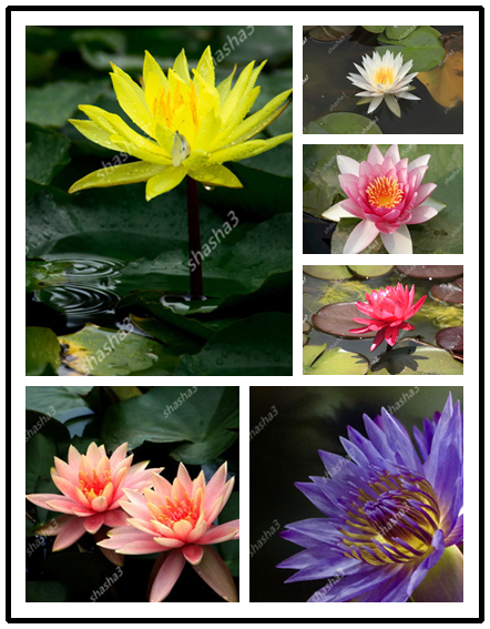 10Pcs/Bag Lotus Flower Lotus Bonsai Aquatic Plants Bowl Lotus Water Lily Bonsai Perennial Nymphaea Plant For Home Garden