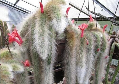 Cactus (Hildewintera colademononis) plants succulents plants seeds DIY home garden – 20 pcs/lot