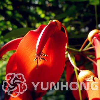 Golden Vento Suzuki Erythrina Crista de Galo Flor Campânula Campanula roxo flores Campânula floração árvores de folha caduca 100 pcs
