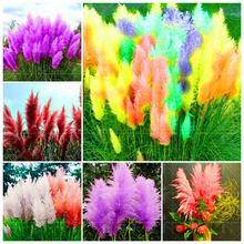 Hot sale!! 100 pcs Rainbow pampas garss Seeds,daisy rare color ,best gift seeds for DIY Home Garden kids love this rainbow.