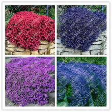 100Pcs/ Creeping Thyme bonsai, Rare Color ROCK CRESS plants - Perennial Ground Cover Flower Natural Growth For Home Garden