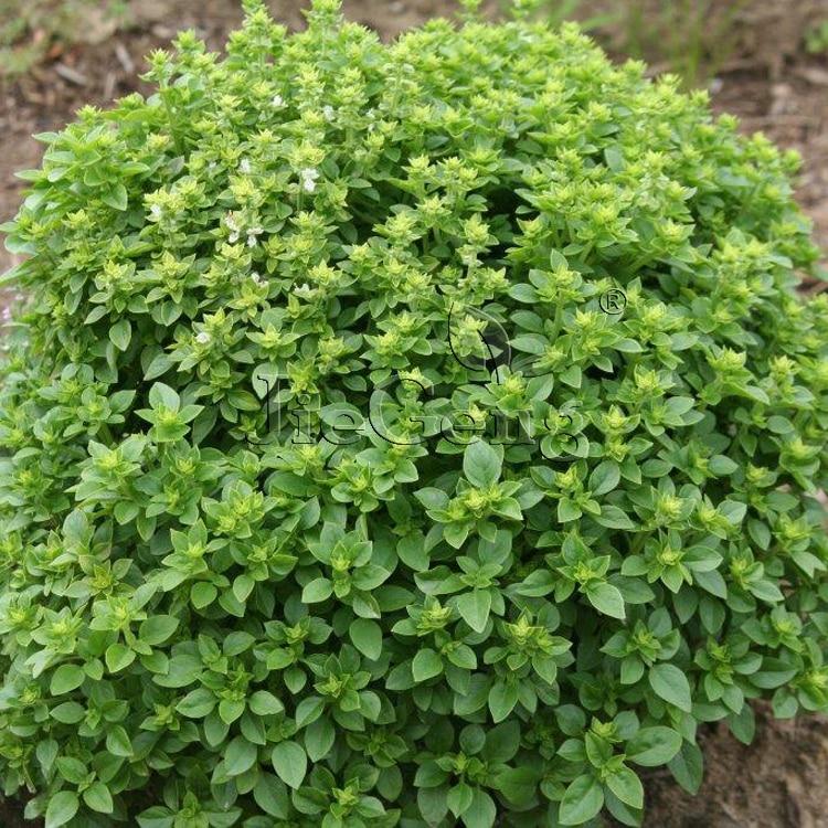 Spicy Globe Basil Seed * 1 Packet 10 Seeds * Ocimum basilicum * Greek Basil * Flavorful Basil * Greek Bush Basil * Garden Seed
