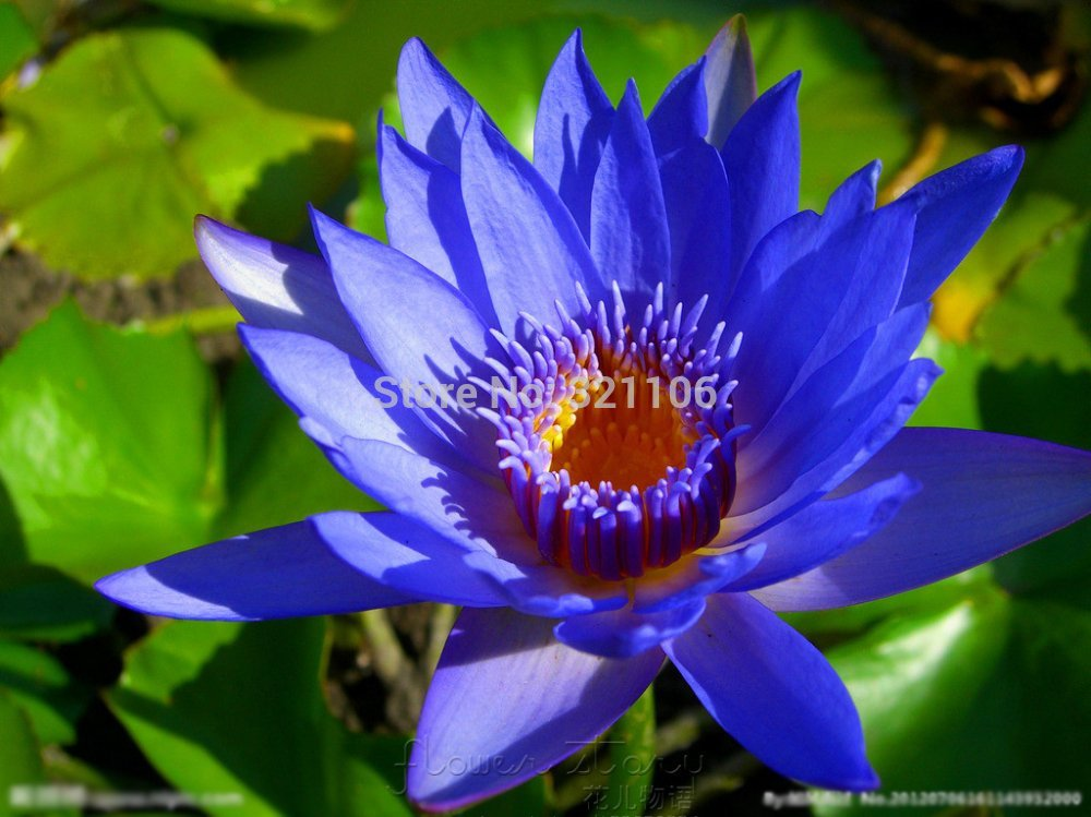 Photo Collection Blue Moon Flower Lotus