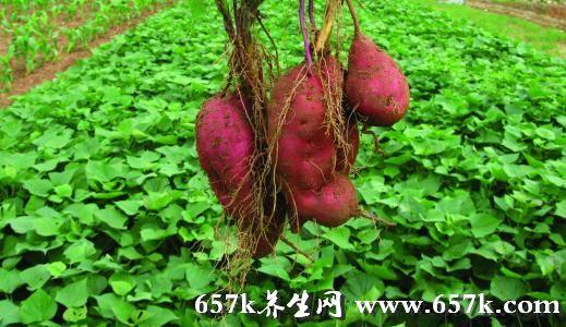 红薯的功效 常吃能提高免疫力