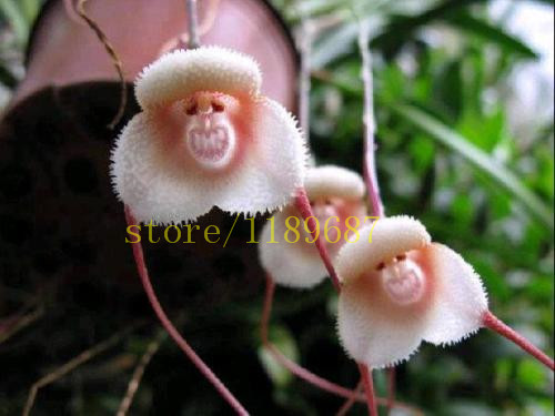 1bag=100 pcs monkey face orchid seeds rare flower seeds for home garden decoration best gift for kids