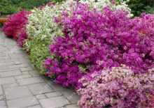 20pcs/bag Japanese azalea seeds,rhododendron azalea,flower seeds tree seeds cover flower 15 colours bonsai DIY plant home garden
