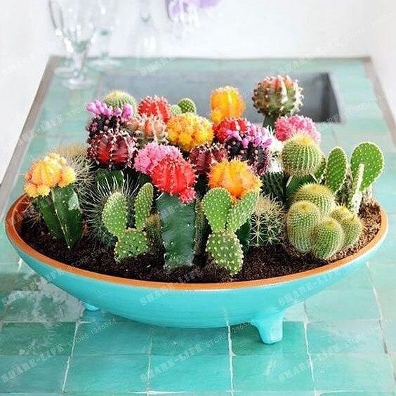 Múltiples plantas ornamentales mixto 100 Cactus Bonsai atractiva impresionante 100% NATURAL, casa y jardín Bonsai plantas
