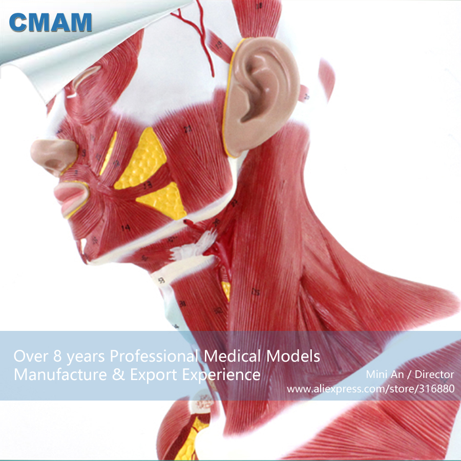 12029 CMAM-MUSCLE06 Anatomical Model Of Thoracic And Neck Muscle , Medical Science Educational Teaching Anatomical Models cmam a29 clinical anatomy model of cat medical science educational teaching anatomical models