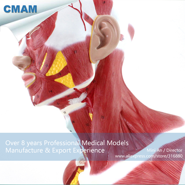 12029 Cmam Muscle06 Anatomical Model Of Thoracic And Neck Muscle