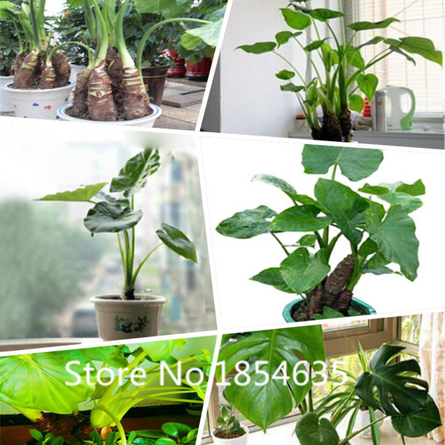 Garden Plant 200pcs/lot Dishlia Seeds Indoor Plants Seeds Planters  Hydroponics Seed Absorption Of Harmful