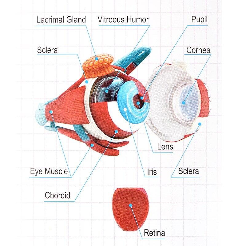 Menschliche auge anatomisches modell montiert anatomie modell auge ...