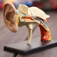 Dental lab Dentist 4D ear human skeleton anatomical model Anatomy model skeleton for sale, 3d puzzle educational toys