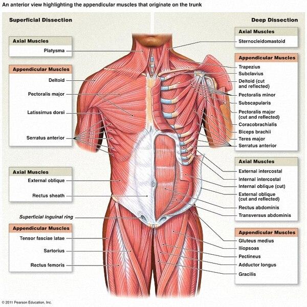 Человека Средства ухода за кожей скелетных Системы анатомические диаграммы плакат Скелет Спецодежда медицинская образование Art плакат шел...