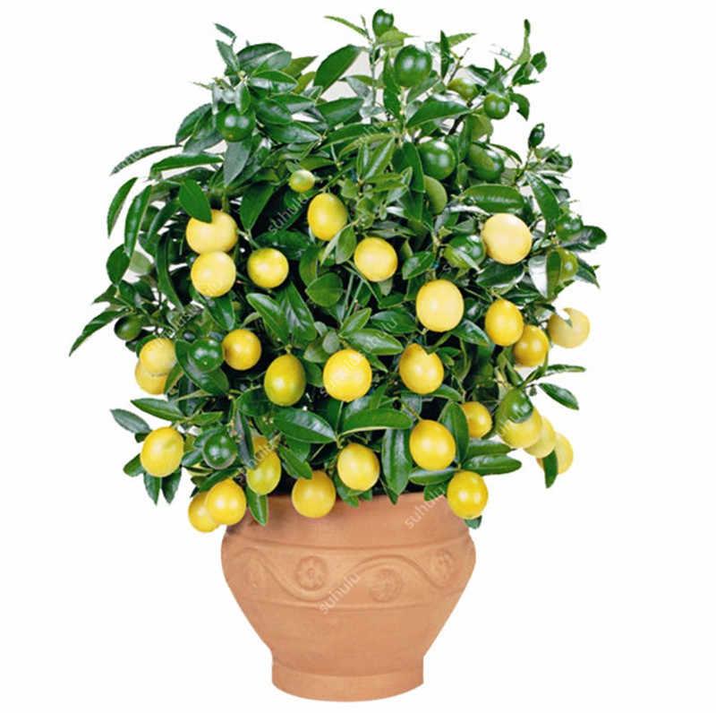 Big Sale! 20 Buah Bonsai Lemon Pot Dimakan Tangerine Buah Jeruk Dwarf Lemon Tree Tanaman Dalam Ruangan untuk Taman Rumah Tanaman