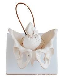 Pelvic Structure Model with Fetal Skull Pelvis Lettuce Model with Baby Head 1:1 Female Pelvis Model Midwifery Teaching Models