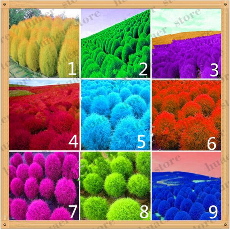 100 Pcs/Pack Grass Bonsai, Perennial Grass Burning Bush Kochia Scoparia Plants Red Garden Ornamental Easy Grow