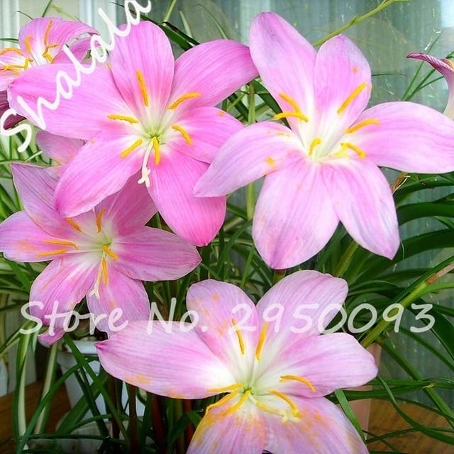 rose jonquilles graines belle bonsa jonquille fleur graines propre air graines de narcisse fleurs naturel croissance - Fleur Jonquille