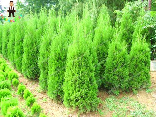 Hot Selling 50pcs Cypress Trees Seeds Perennial Conifer Bonsai Seeds Natural Growth For DIY Home Garden Plants