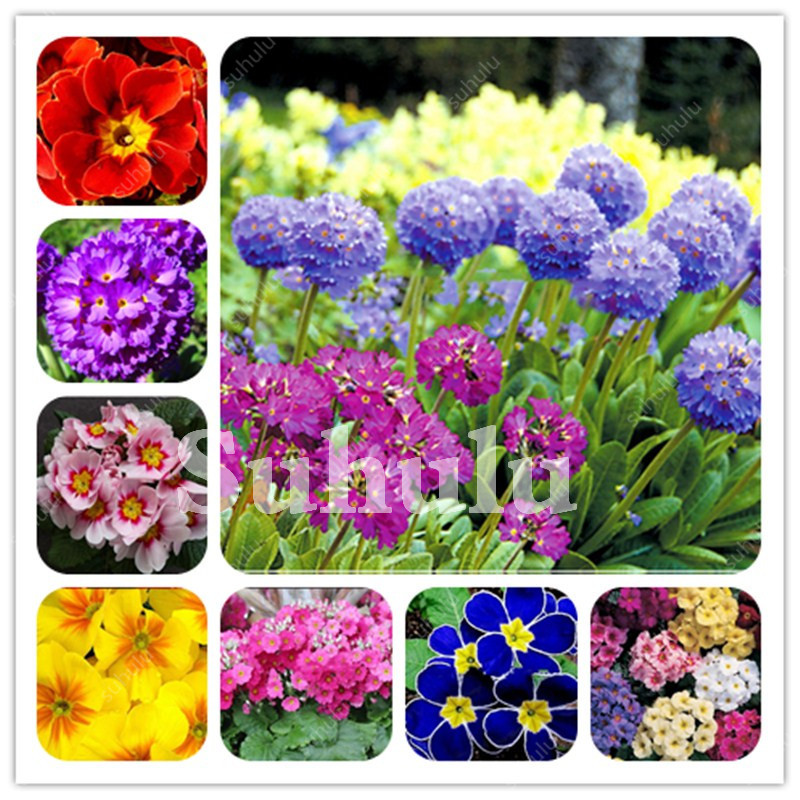 200 Pcs Real Evening Primrose Bonsai Europe Primula Malacoides Mix Color Flower For Home Garden Supples Plant Gift For Wife