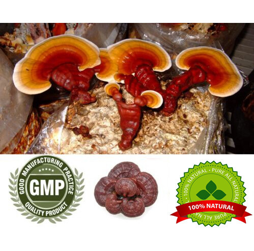 Reishi Mushroom Extract 10:1 500mg*100 Caps  (Ganoderma Lucidum) Organic w/ Free Ship