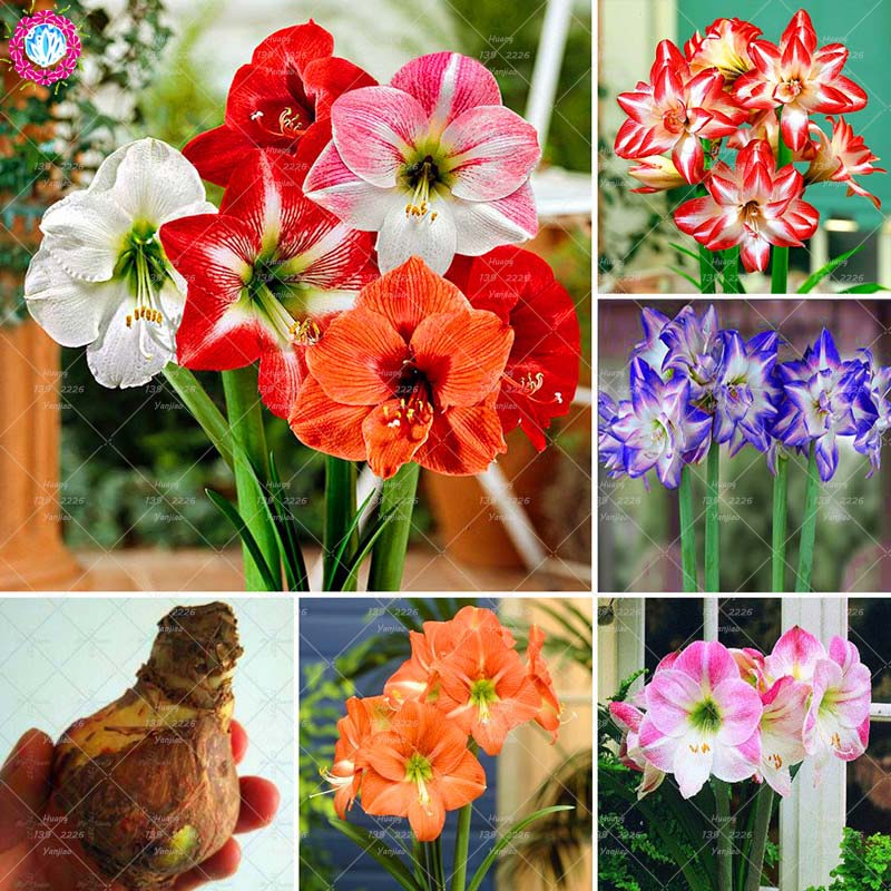 Super Big bulb True amaryllis bulbs,hippeastrum flowers bulbs Rare bonsai plants Barbados Lily potted home garden plant -1 bulb