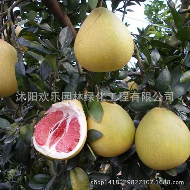 Red meat pomelo seed wholesale guanximiyou fruit grapefruit seed seed South fruiting more manageable 2 Seeds/Pack