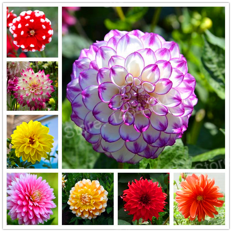 100pcs/bag mix color dahlia flower dahlia seeds,bonsai flower seeds Bonsai plant for home garden Chinese peony garden plant