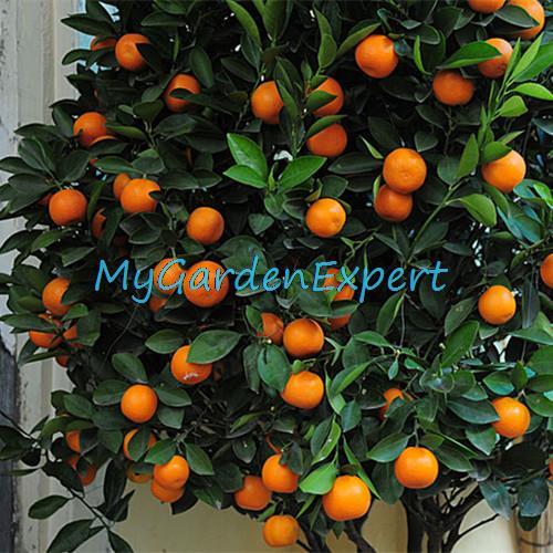 20pcs/bag Balcony Patio Potted Fruit Trees Planted Seeds Kumquat Seeds Orange Seeds Tangerine Citrus Bonsai Seeds Free Shipping