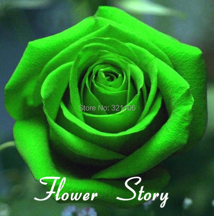 Free shipping 200 green rose seeds unbelievably for Green colour rose images