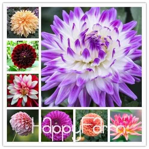 Resistente ao Calor-oposição Diferentes Dália Perene Flor Sementes, 100 Sementes/Pack, luz Perfumado Jardim Bonsai, # NSD9SG