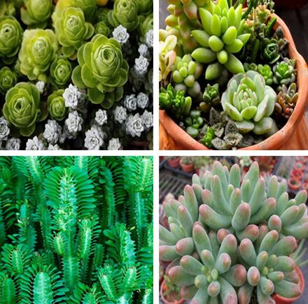 GGG 100pcs bagsmall indoor flowers succulents seeds, family interior desktop potted flowers green meaty plant limb apricot seed