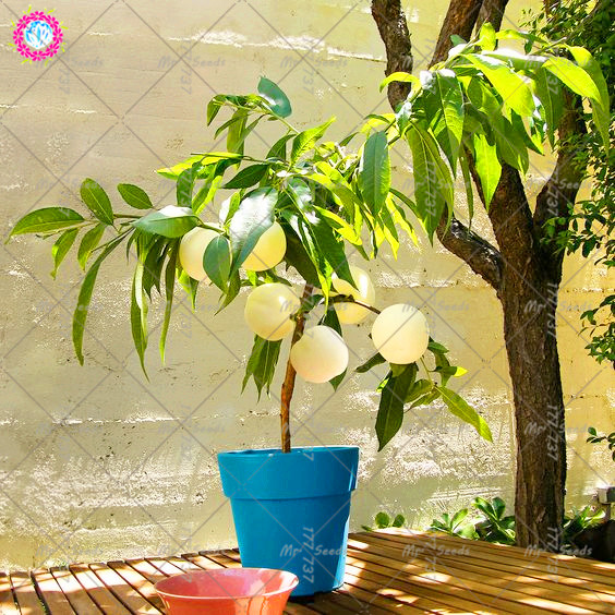 2PCS White Peach Seeds Sweet Peach Tree Fruit Seeds Indoor Bonsai For Home Garden Perennial Potted Plant Seeds
