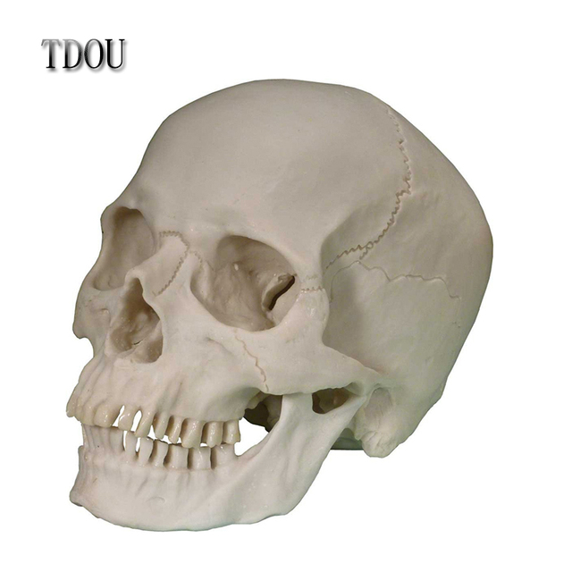 TDOU Life-Size Human Skull Replica Skeleton Model Detachable Mandible 1:1 Free Shipping