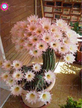 100pce Rare Cactus Flower Seeds Heirloom Succulents Plant Seeds Natural Growth Bonsai Seeds For Home Garden Supplies