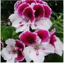 garden geranium, pelargonium geranium seeds, pelargonium flowers – 10 seeds