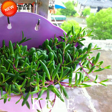 New Seeds 2018!100 pcs/Pack Pearl Chlorophytum Seeds Beads Gardening Bonsai Absorb Potted Plants Indoor Air Plants,#OSB20X