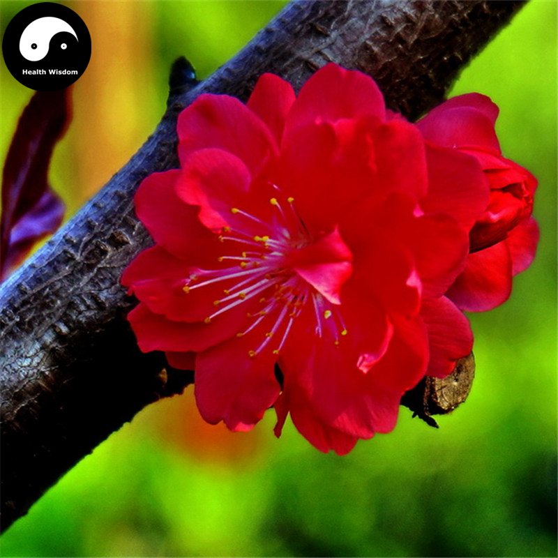 Buy Chinese Winter Sweet Prunus Mume Tree Seeds 30pcs Plant Red Plum Blossom Grow Hong La Mei Сумка